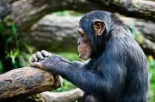 making nature chimp